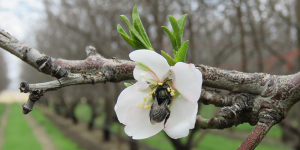 Orchard Mason Bee among the blossom of a flowering tree