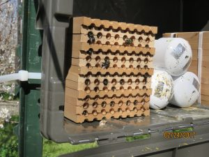 The hollow tubes provided by growers are popular among Orchard Mason Bees