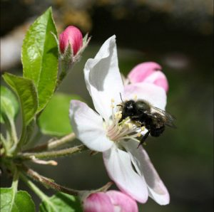 Orchard Mason Bee is one of nature