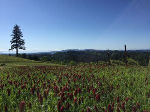 Crimson clover in bloom at Fairsing Vineyard in Oregon