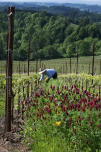 Working among the vines and blooming crimson clover at Fairsing Vineyard