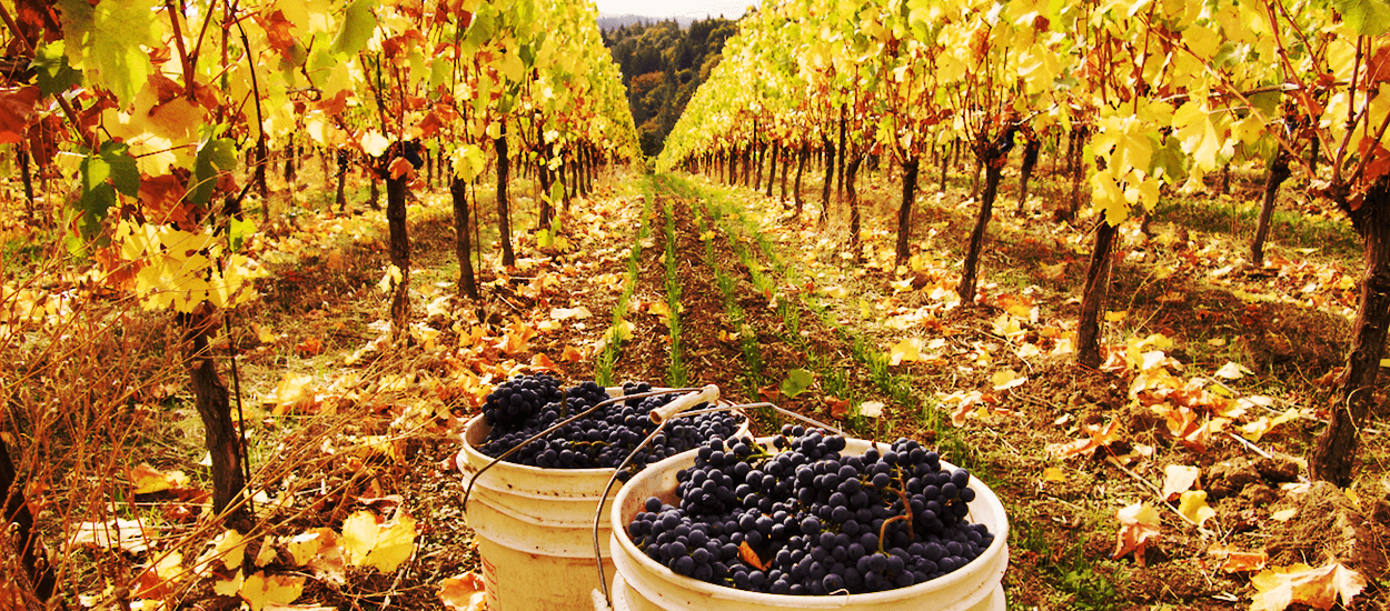 Fall Colors and Beautiful Pinot Noir Clusters at Fairsing Vineyard in Oregon's Willamette Valley