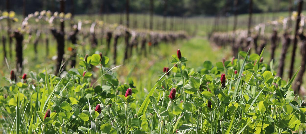 Crimson clover in bloom at among the vines at Fairsing Vineyard in Oregon's Willamette Valley.