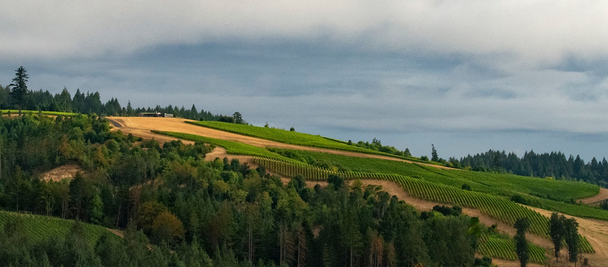 Fairsing Vineyard Pinot noir blocks on the east side of the estate enjoy soft morning sunlight