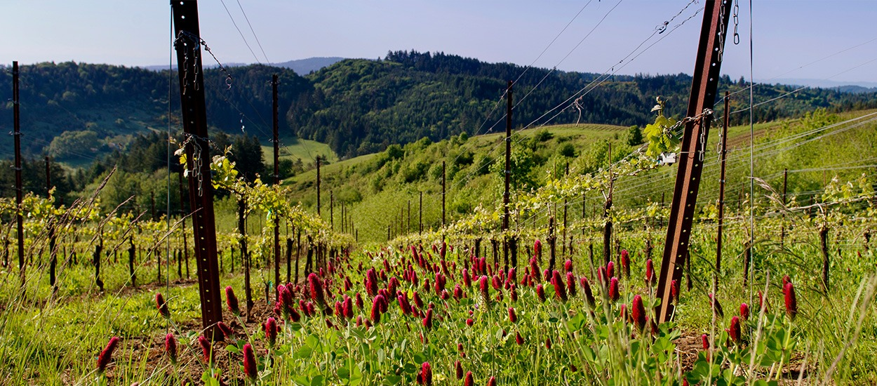 Fairsing Vineyard crimson clover cover crop limits erosion and restores nitrogen to the soil