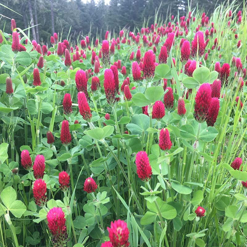Blankets of Crimson clover as cover crop among the vines at Fairsing Vineyard in Oregon's Willamette Valley
