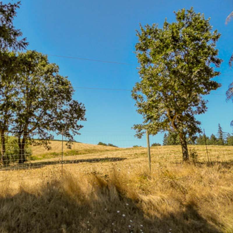 Oak trees on the east side of Fairsing Vineyard in Oregon's Willamette Valley