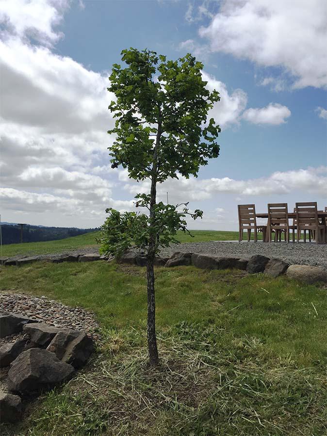 A native Oregon white oak sapling outside the event venue at Fairsing Vineyard