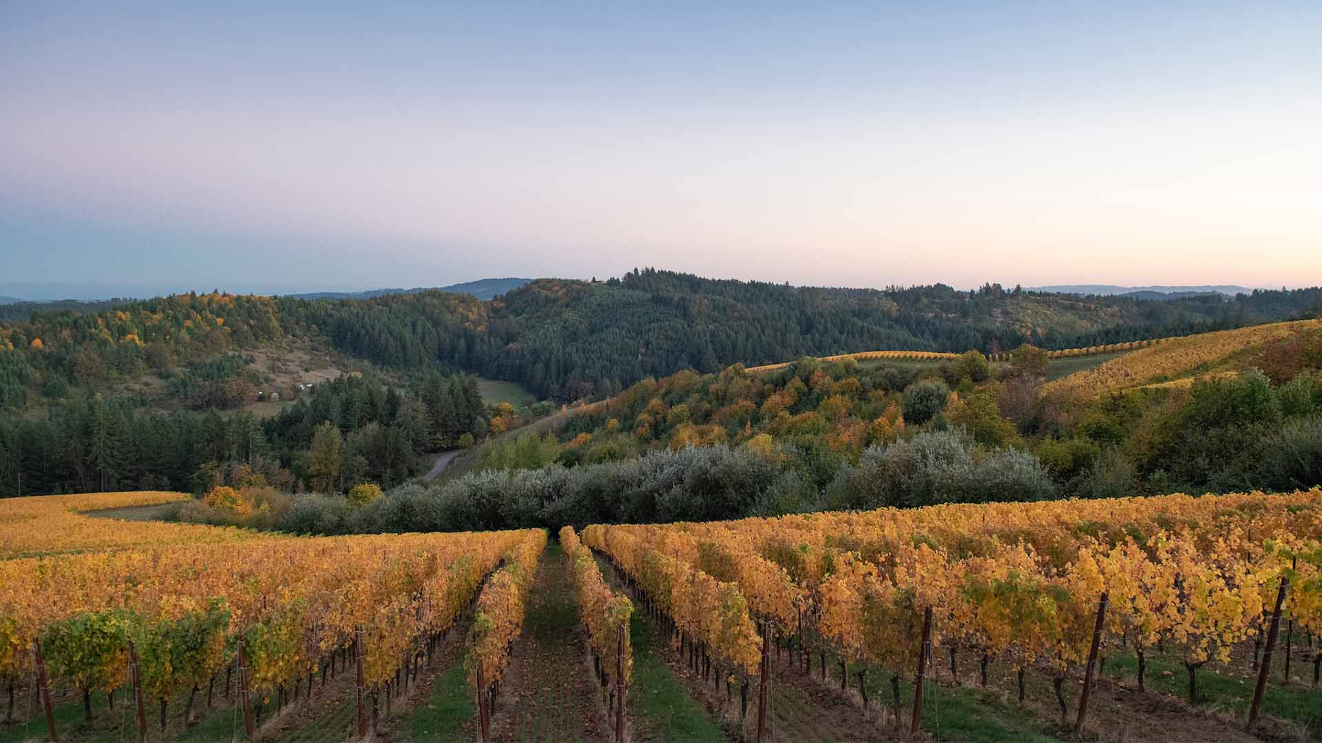 Fairsing Vineyard awash in harvest colors beneath an October sky in Oregon's Willamette Valley