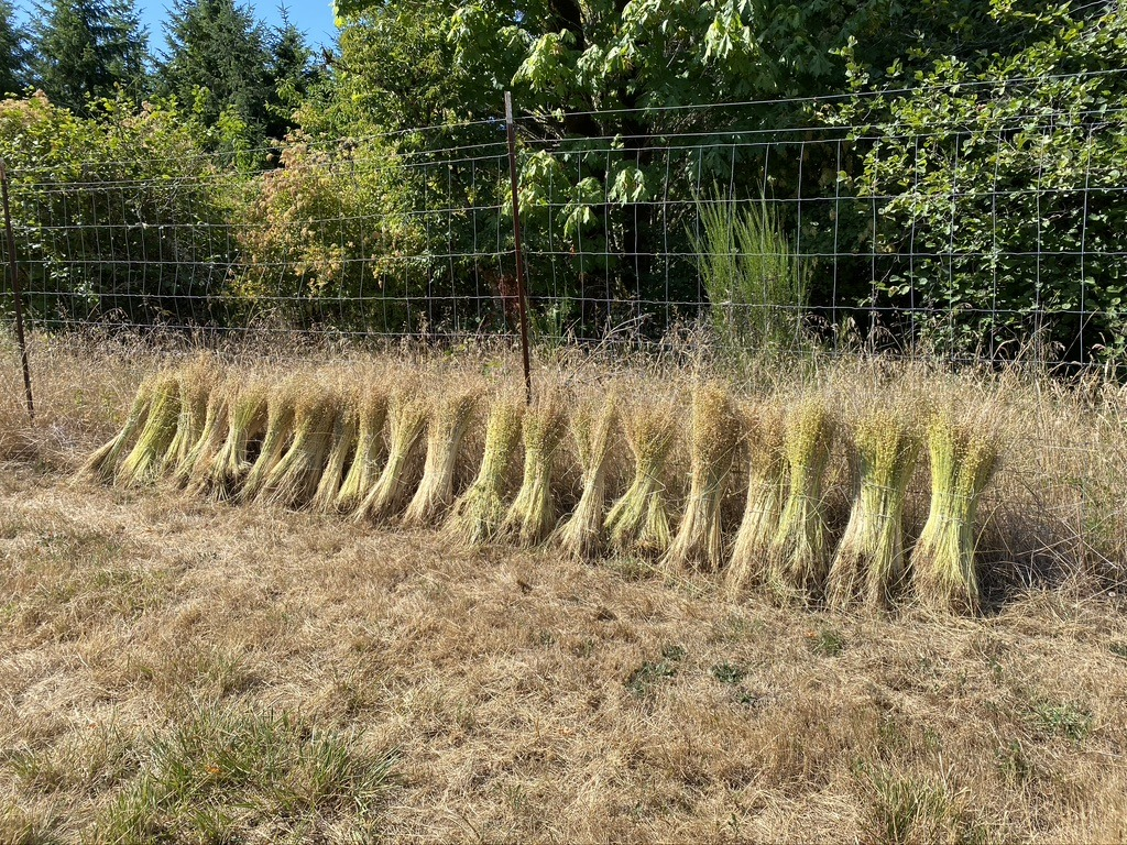 Golden fiber flax tied into shooks or swathes at Fairsing Vineyard in Oregon's Willamette Valley