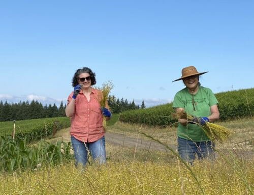 Fiber Flax and Fairsing – Planting, Nurturing and Harvest in 100 Days