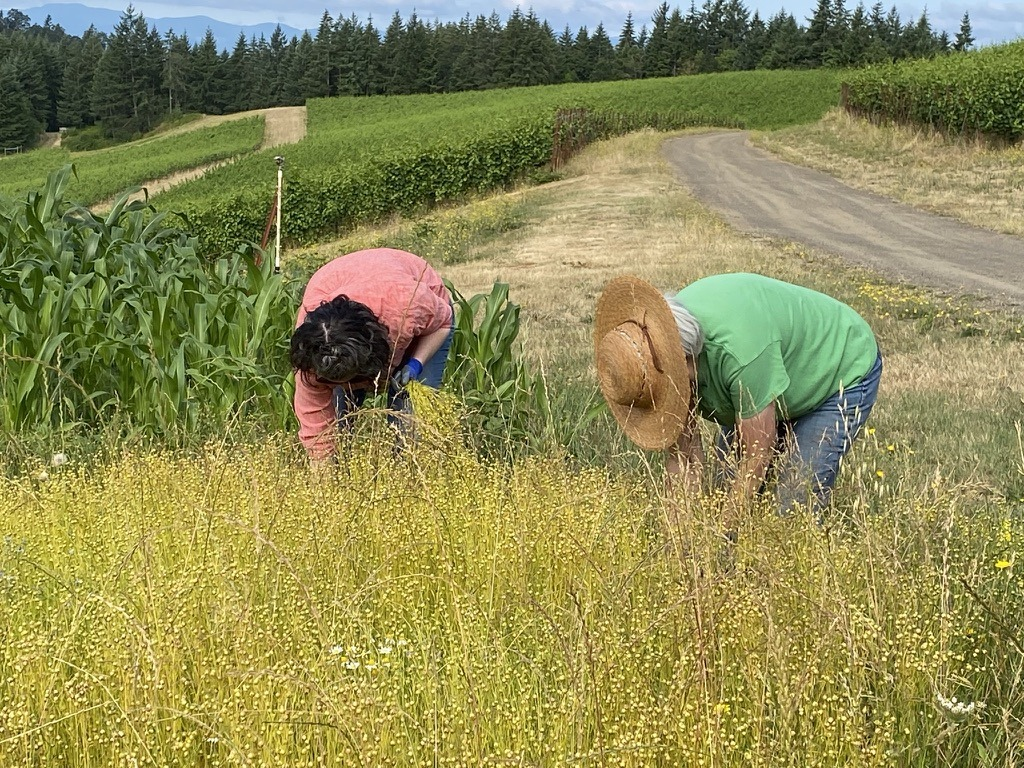 Fiber flax pulled from the ground by hand at Fairsing Vineyard in Oregon's Willamette Valley