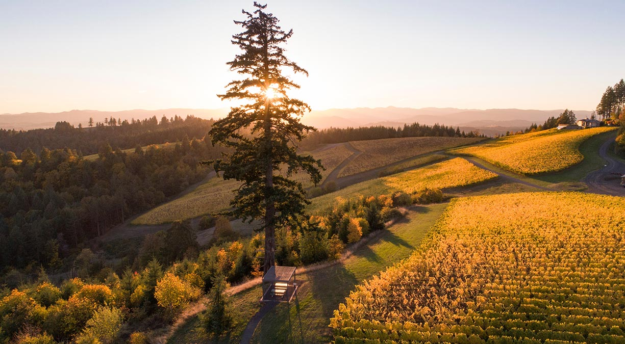The sun sets behind an old-growth Douglas fir surrounded by golden Chardonnay and Pinot noir vines at Fairsing Vineyard in Oregon's Willamette Valley
