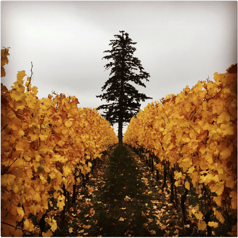 Golden Chardonnay vines form an eery path to the base of Fairsing Vineyard's old-growth Douglas fir tree beneath a gray sky